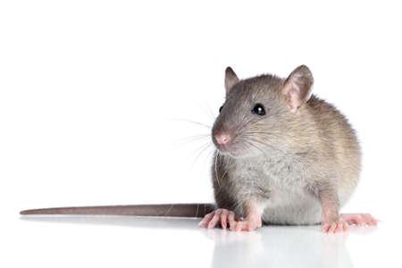 rata: Rata se sienta en un fondo blanco