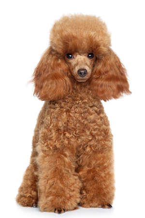 Rode Toy Poodle puppy op een witte achtergrond