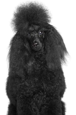 miniature poodle: Black miniature poodle portrait on a white background
