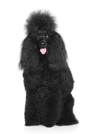 miniature poodle: Happy Black Miniature Poodle sitting on a white background