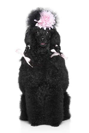 miniature breed: Negro Miniature Poodle retrato sobre un fondo blanco Foto de archivo