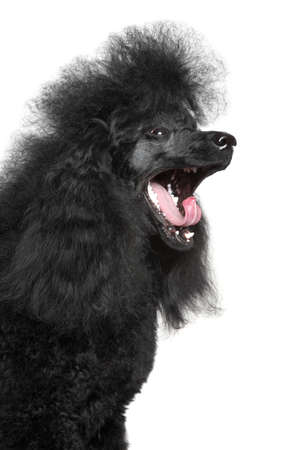 miniature poodle: Black Miniature Poodle yawn on white background