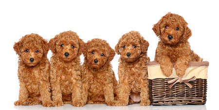 poodle: Poodle puppies with wicker basket on a white background Stock Photo