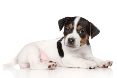 jack russel: Jack Russell terrier puppy posing on white background Stock Photo