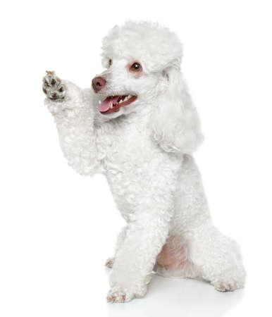 miniature breed: Toy Poodle da que una pata en el fondo blanco