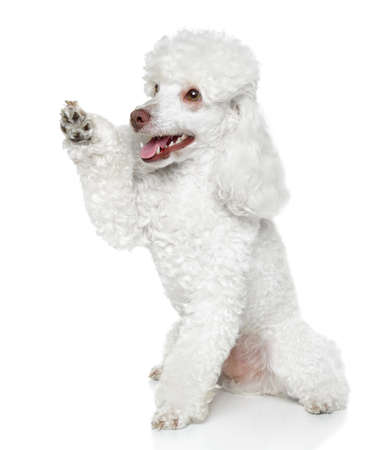 dog pose: Toy Poodle gives that a paw on white background