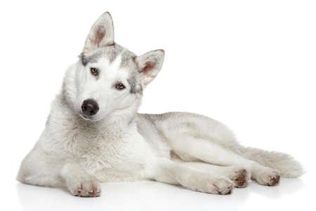 白い背景に横たわっているシベリアン ハスキー犬