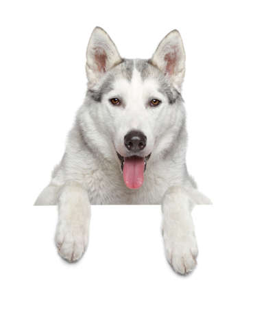 Siberian Husky resting on a white banner Stock Photo
