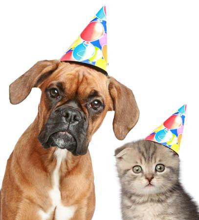 chapeaux: Le chien de boxeur et Scottish fold chat dans le chapeau de f�te sur fond blanc