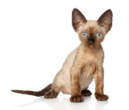 devon: Devon Rex kitten sits on a white background