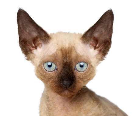 devon: Devon Rex kitten. Close-up portrait on a white background Stock Photo