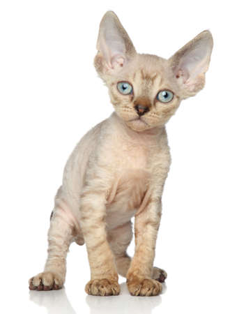 devon: Brown Devon rex kitten on white background Stock Photo