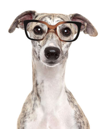 Close-up portrait of a dog in glasses, on white background photo
