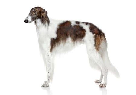 러시아어 borzoi 개. 흰색 배경에 측면보기 스톡 콘텐츠