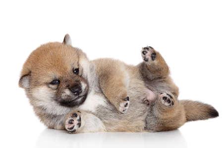 Shiba-inu puppy lies on a white background photo