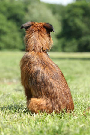 brussels griffon: Dog breed Griffon sits and waiting for his owner  rear view