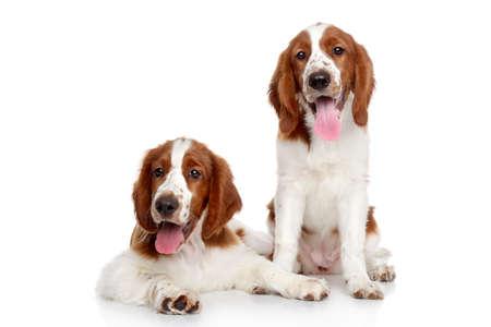 springer: Springer spaniel puppies on a white background