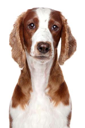 springer: Springer spaniel puppy  Close-up portrait on a white background
