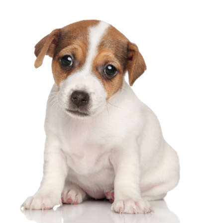 jack russel: Jack Russell terrier puppy posing Stock Photo