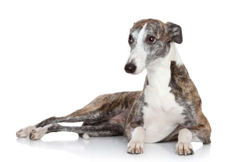 Whippet dog lying in front of white background photo