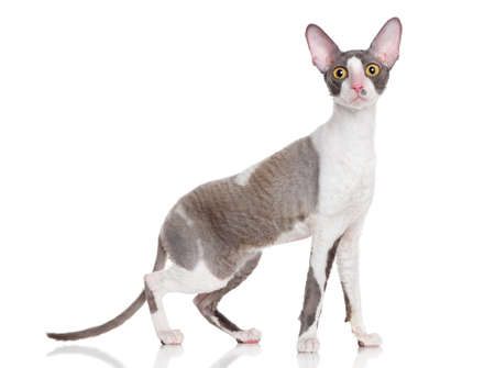 Cornish Rex cat posing on a white background photo