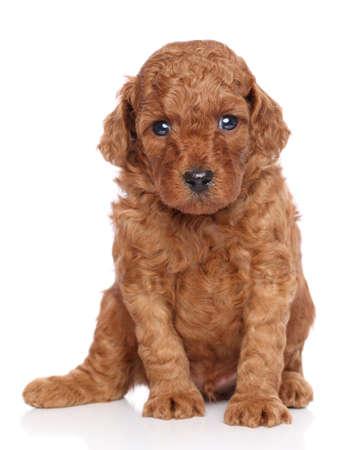miniature breed: Miniatura poodle cachorro retrato (30 días) sobre un fondo blanco