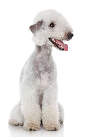 Bedlington terrier sitting on a white background Zdjęcie Seryjne