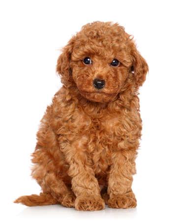 enano: Red perrito del caniche de juguete se sienta en un fondo blanco