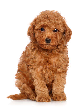 Rode Toy Poodle puppy zit op een witte achtergrond