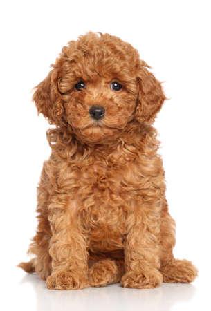 Miniatuur Poedel Puppy zit op een witte achtergrond Stockfoto