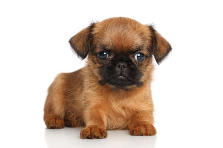brussels griffon: Griffon Bruxellois puppy on a white background