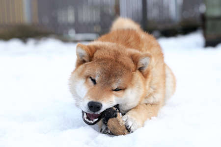 Shiba-Inu dog playing with a toy. Outdoor winter shot photo