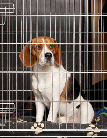 Beagle Dog locked in iron cage photo