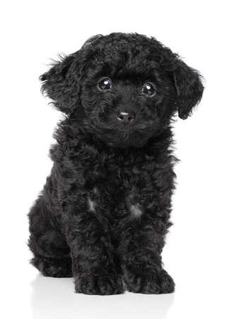 miniature breed: Toy Poodle Puppy en un fondo blanco Foto de archivo