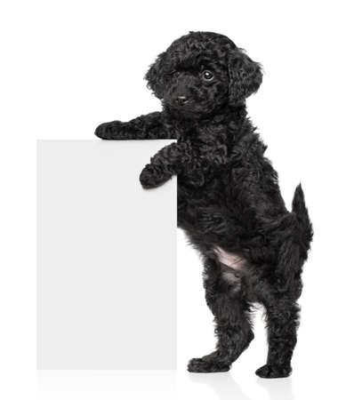 Negro Toy caniche cachorro de pie y sostener una bandera blanca