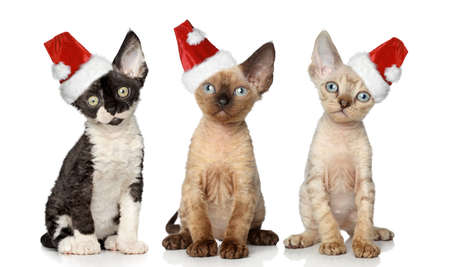 Group of Devon Rex cats in Christmas red hat, sits on a white background photo