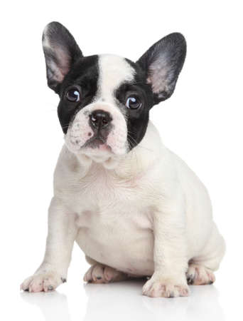 french: French bulldog puppy  Studio shot, on a white background