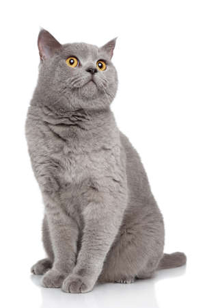 gray cat: Portrait of British Shorthair cat on a white background Stock Photo