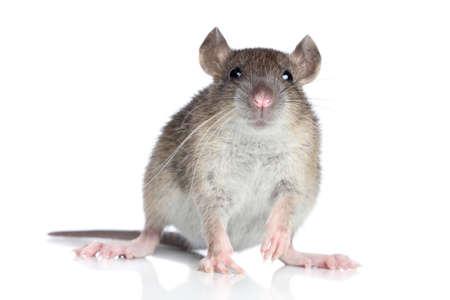 agouti: Agouti rat on a white background