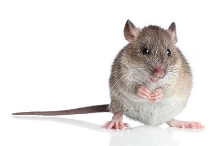 agouti: Agouti rat sits on a white background
