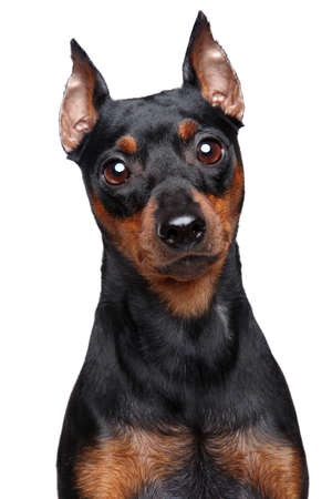 cvergpincher: Miniature Pinscher dog  Close-up portrait on a white background Stock Photo
