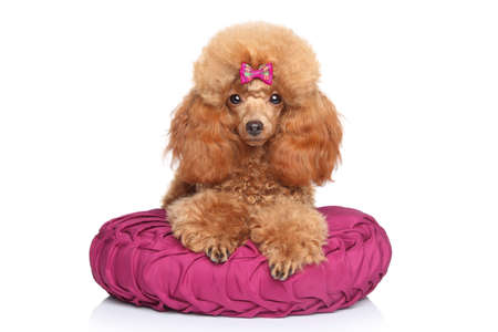 funny animal: Toy Poodle puppy lying on pillow on a white background