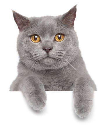 British grey cat posing on a white banner
