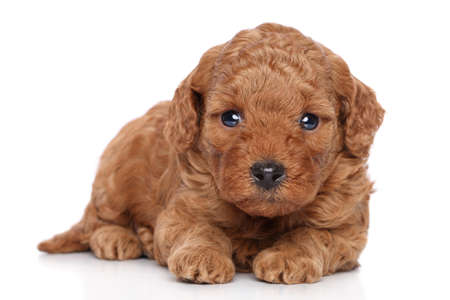 miniature poodle: Miniature Poodle Puppy on a white background