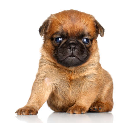 brussels griffon: Griffon Bruxelles puppy sits on a white background
