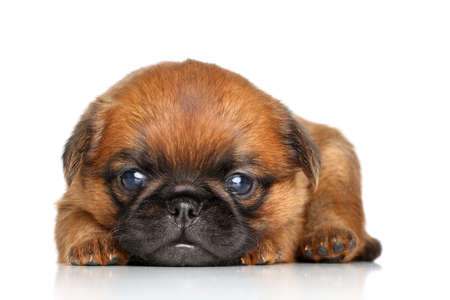 brussels griffon: Griffon Bruxelles puppy lying on a white background Stock Photo