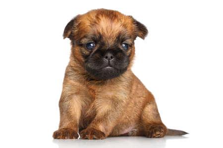 griffon bruxellois: Griffon Bruxelles puppy lying on a white background Stock Photo