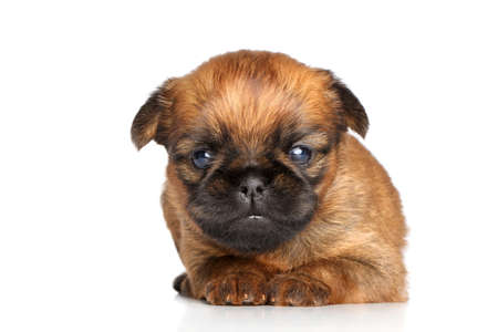 brussels griffon: Beautiful Griffon Bruxelles puppy on a white background