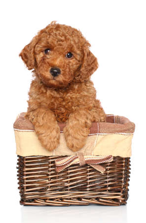 sits: Red toy poodle puppy  two month  sits in wicker basket on a white background Stock Photo