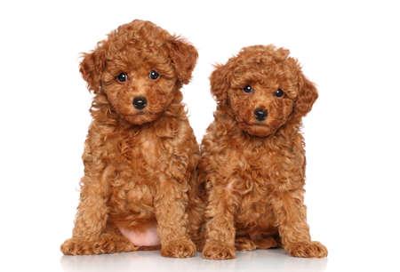 赤いおもちゃプードル子犬。白い背景の上の肖像画 写真素材 - 23734409